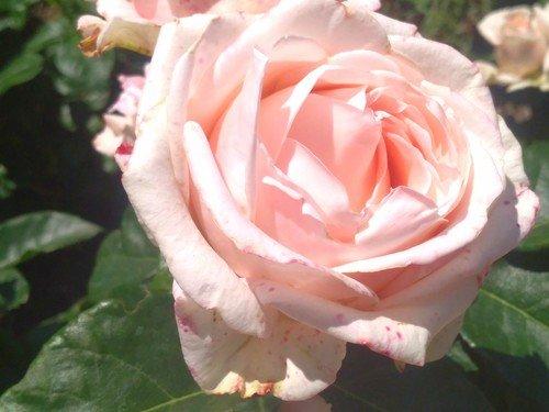 Нежная крымская роза.