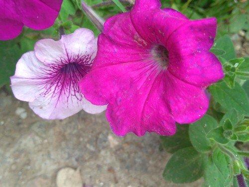 Фиолетовы.