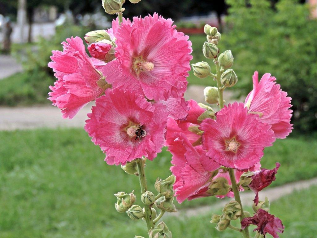 может цветок похожий на мальву фото данной статье расскажем