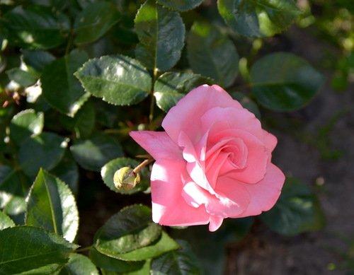 Розовая молодость