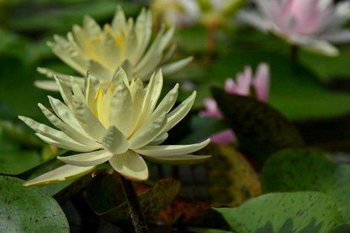 Цветы  русалок