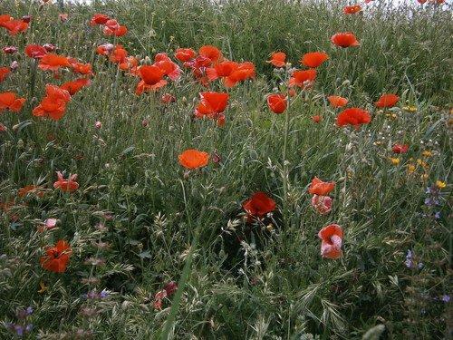 Цветы бранных полей