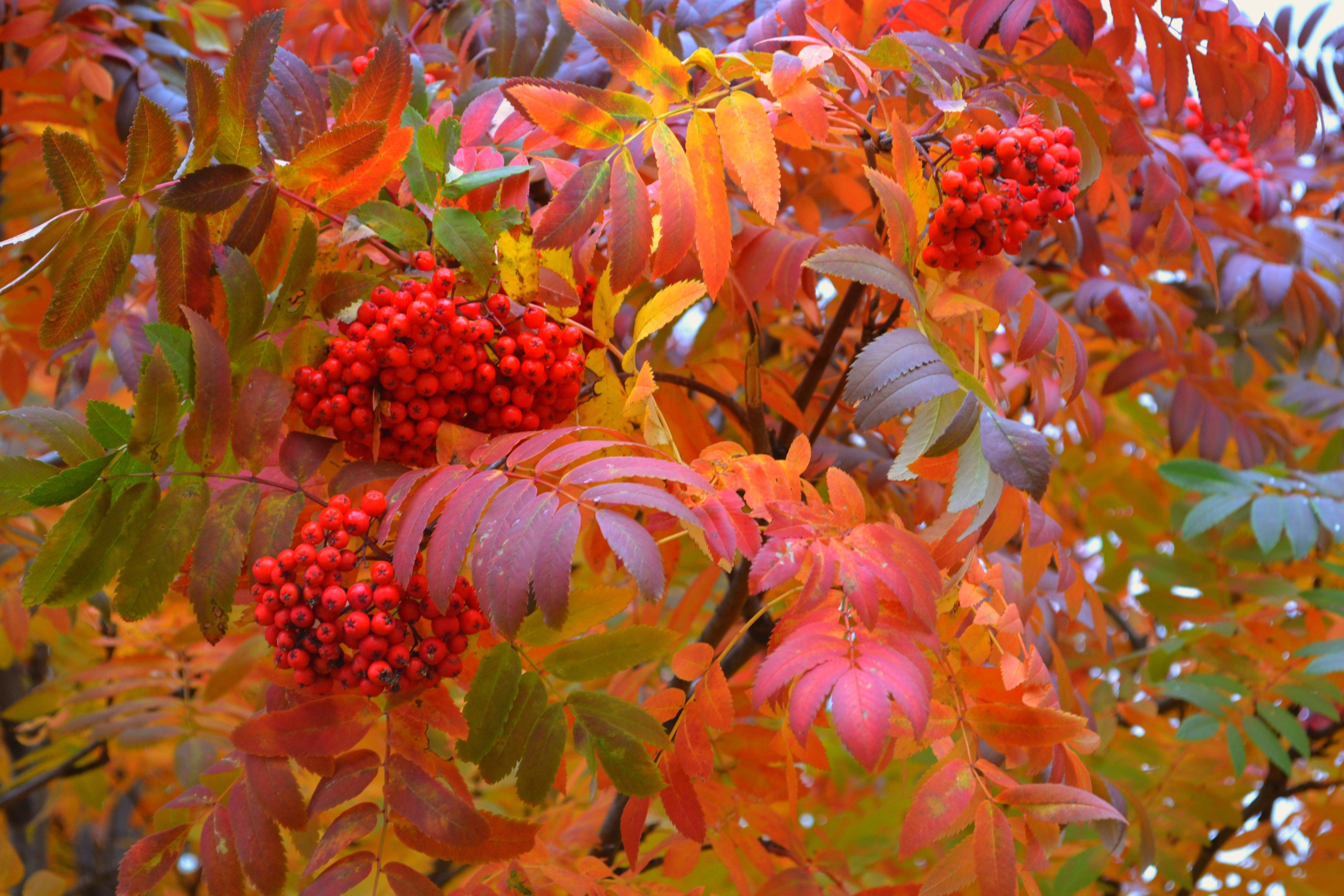 Осенняя рябина фото