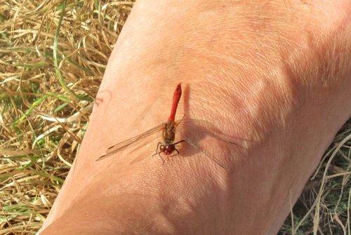 Стрекоза красная, сжатобрюх красный на моей ноге