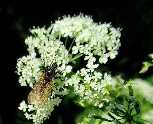 Толкунчик; Empididae