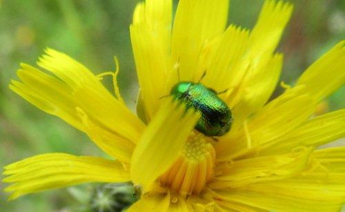 Скрытоглав шелковистый, или скрытоглав зелёный (Cryptocephalus sericeus)