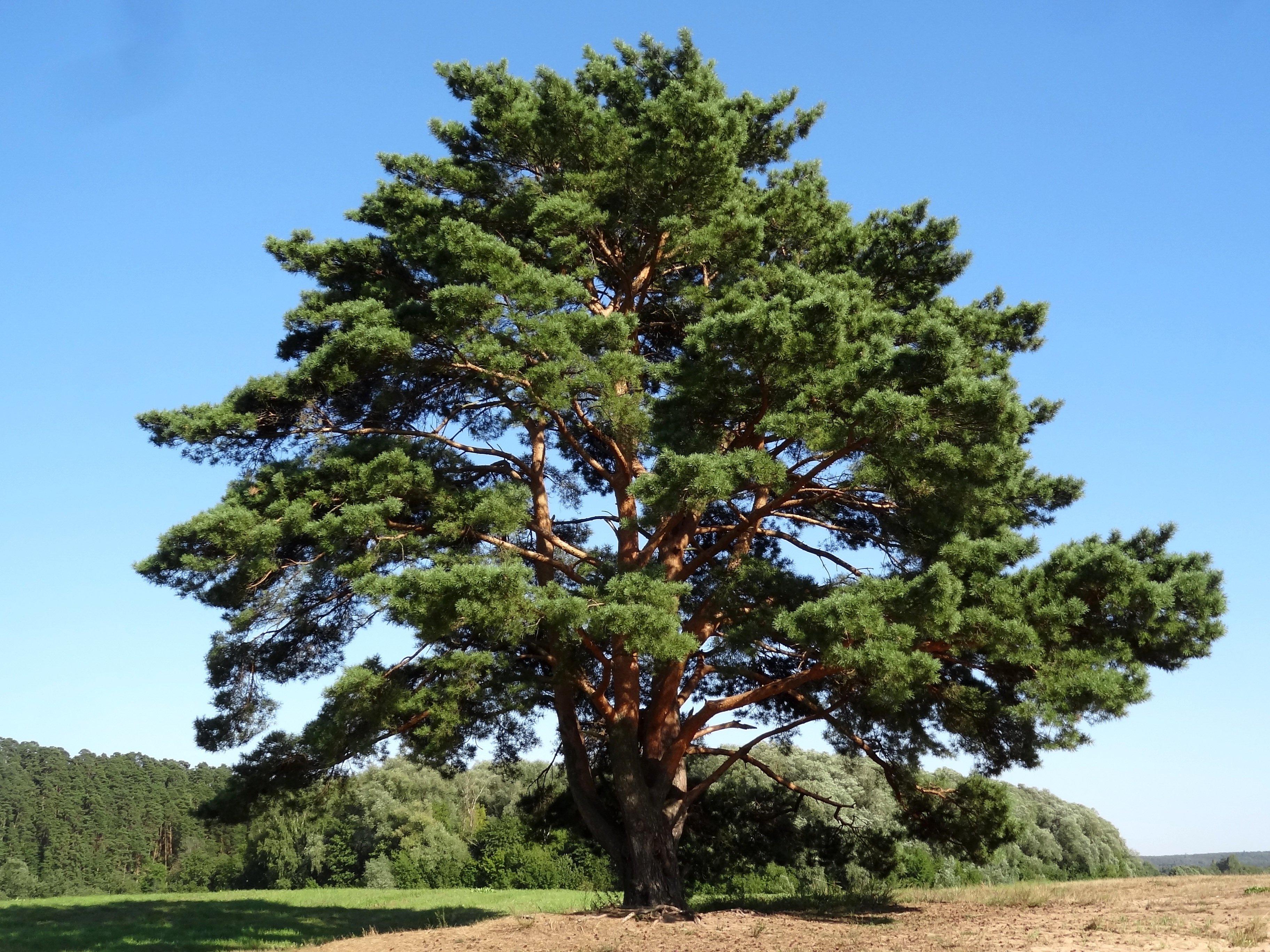 достаточно фотография соснового дерева игры это