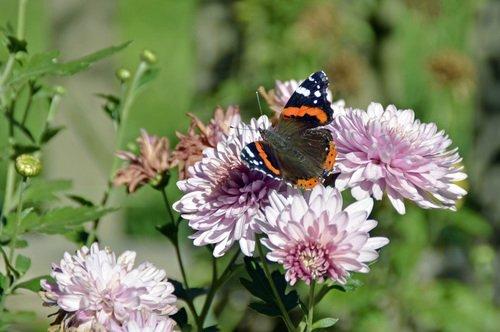 Бабочка и хризантема