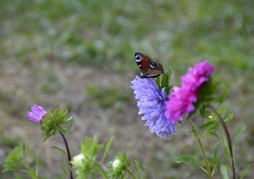 Бабочка и астры