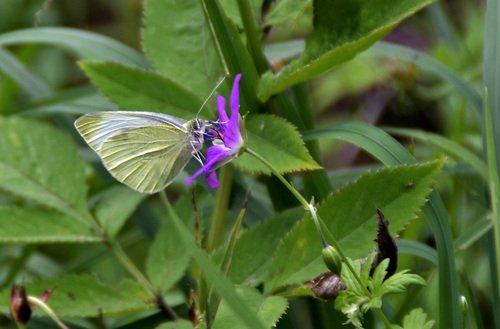 Бабочка и лесная герань