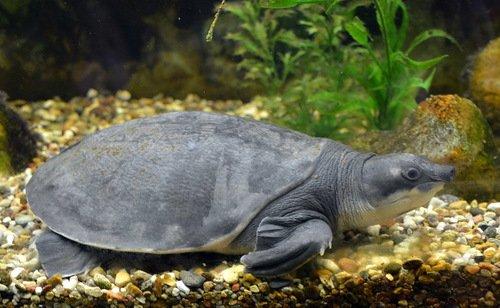 Свиноносная  двухкоготная черепаха