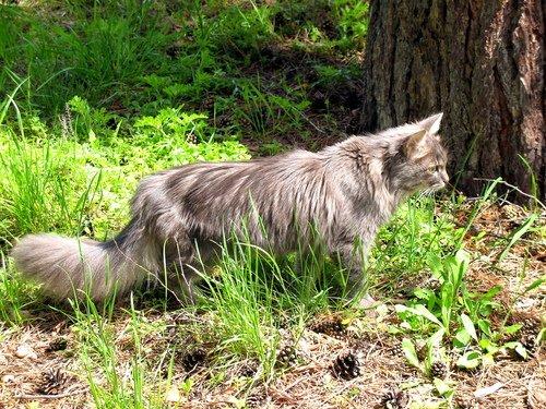 Охотничий кот.