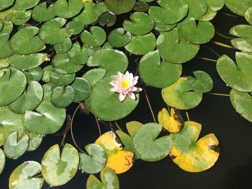 Лотос цветет