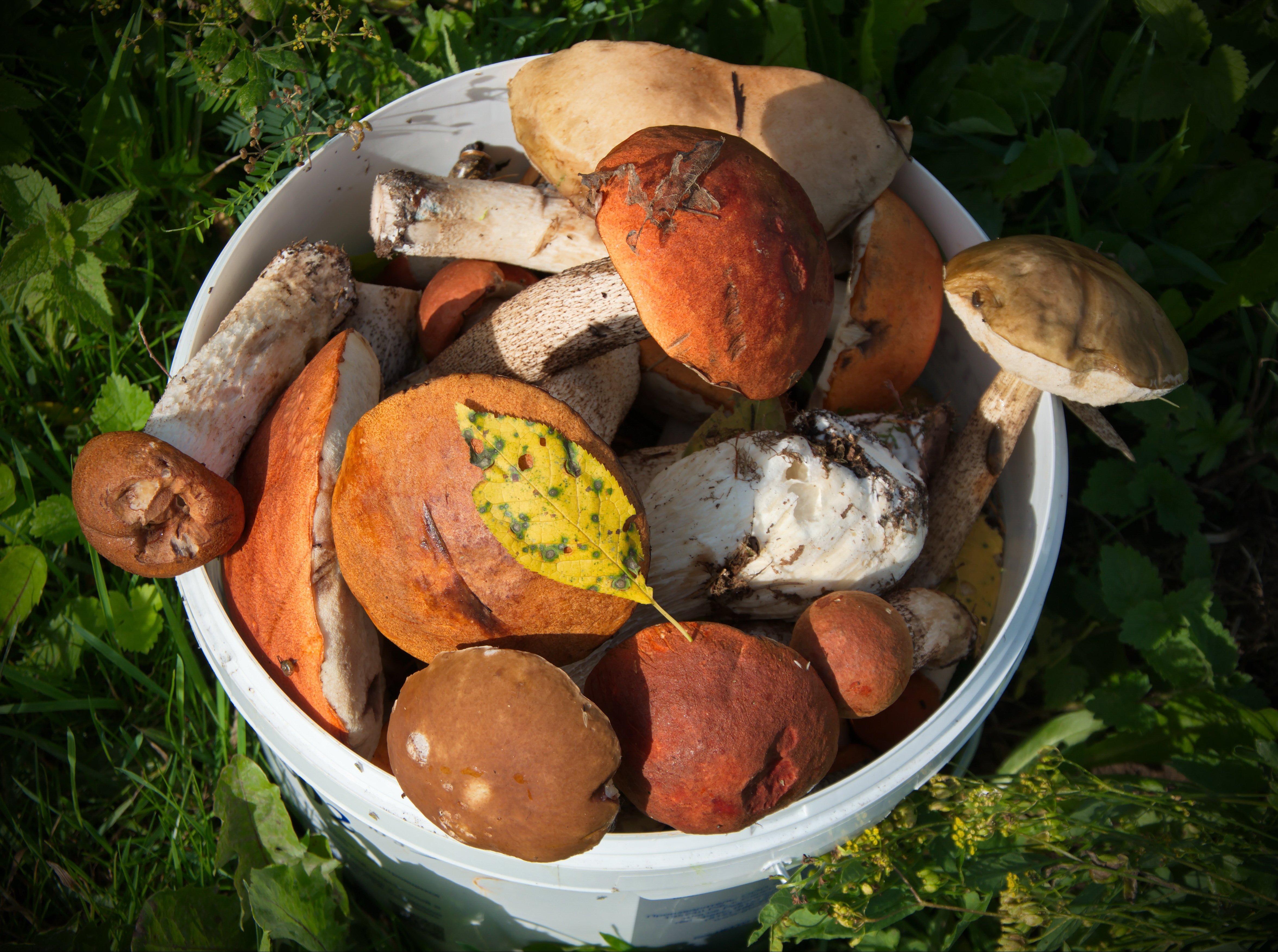 Подберезовики грибы фото в ведре