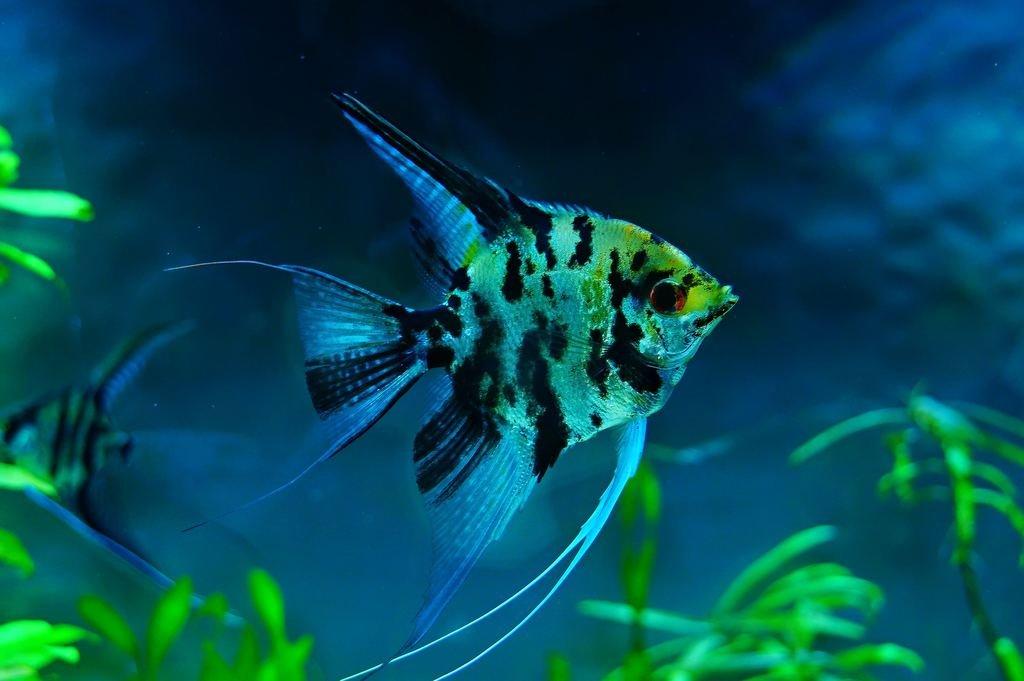 Скалярия или Рыба-ангел