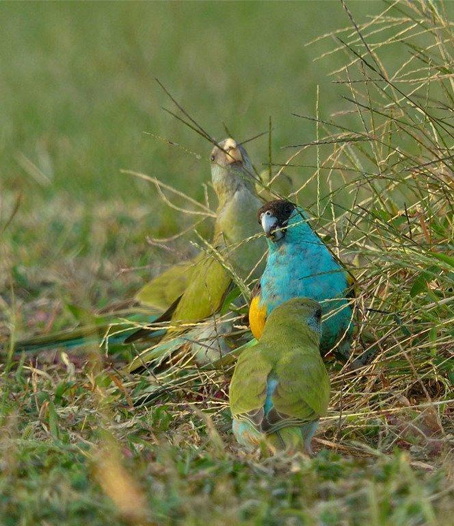 Златоплечий попугай