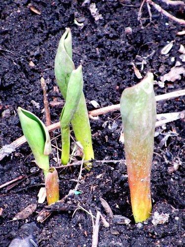 Февральские тюльпаны
