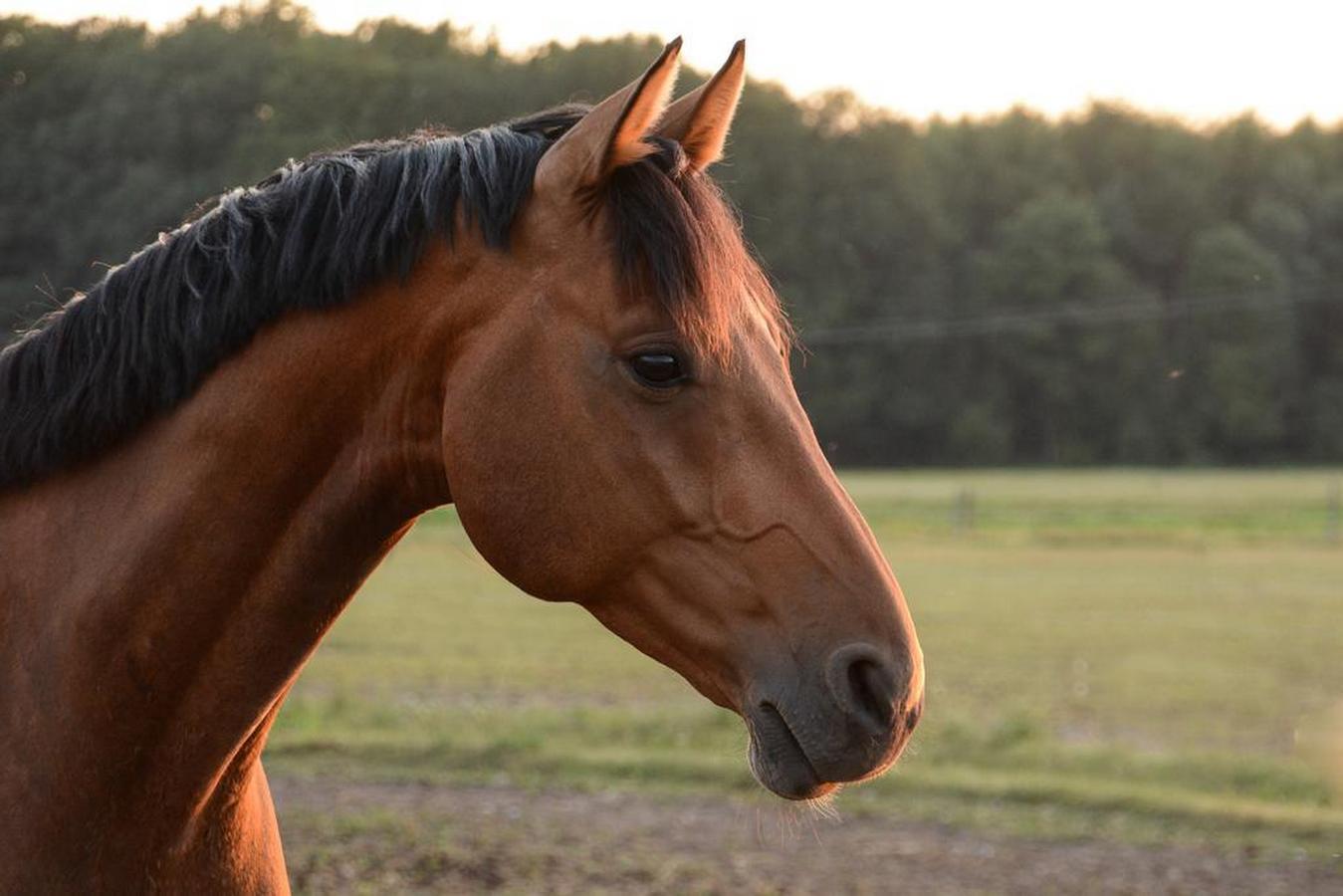 Картинки лошадей ганноверов