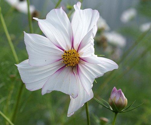 цветок космеи и бутон