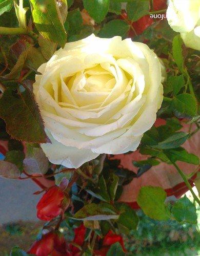 Белая роза-эмблема печали...