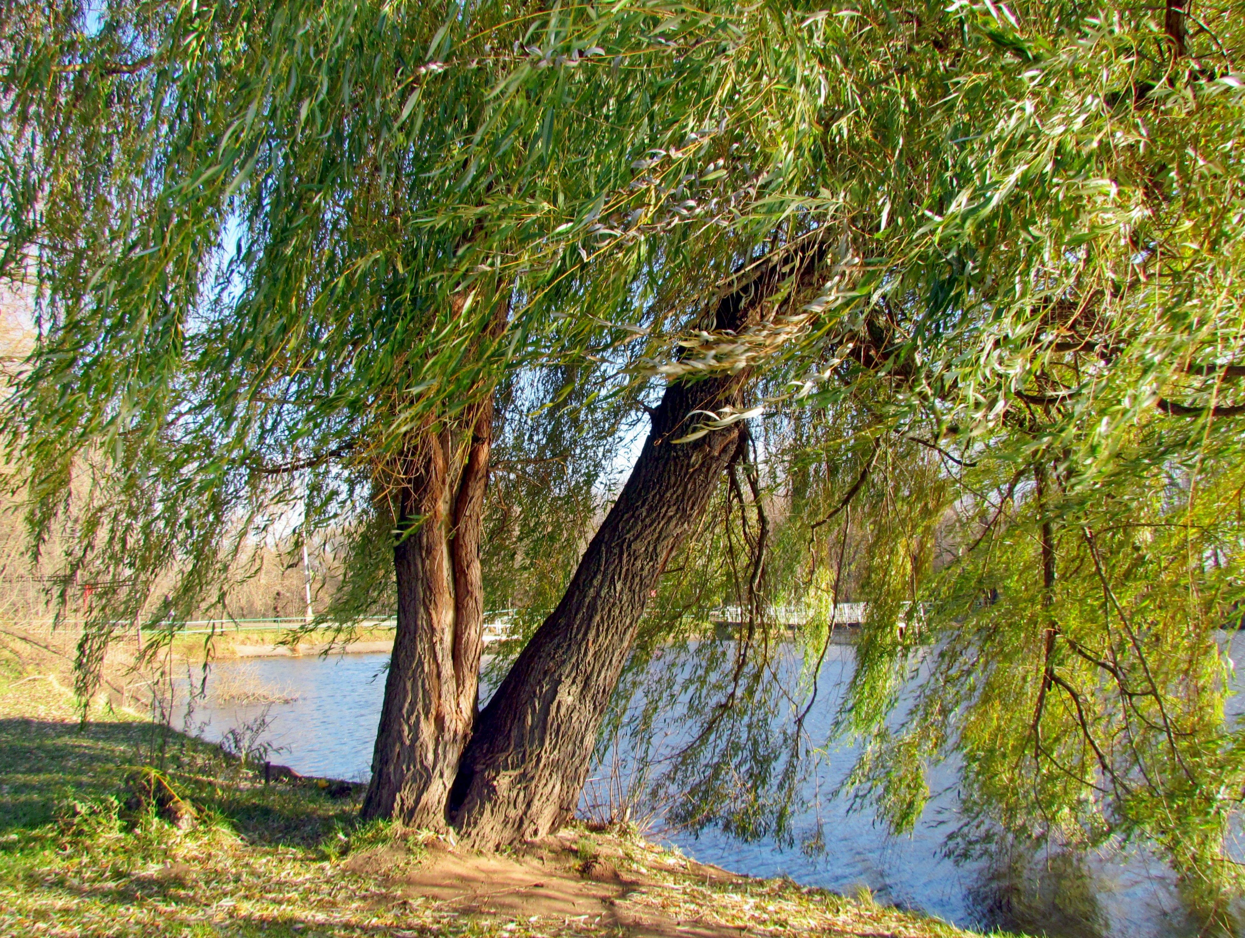 наших дерево ветла фото итальянского города