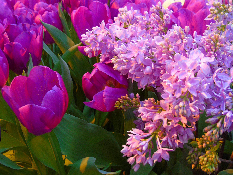Тюльпаны и сирень картинки