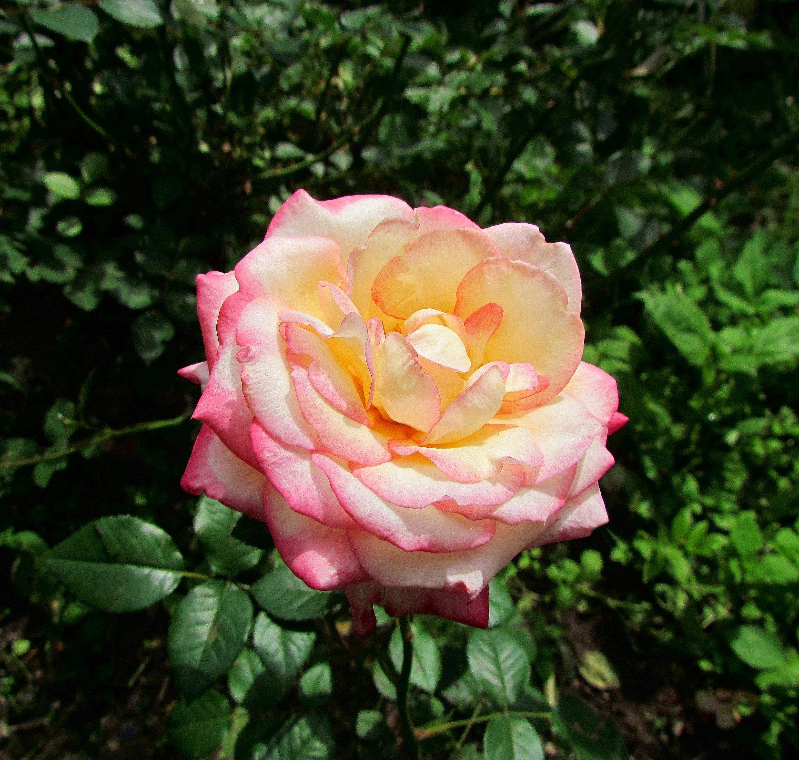раньше фото сорт розы глория дей фото помощи нанесения