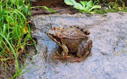 Садовая лягушка