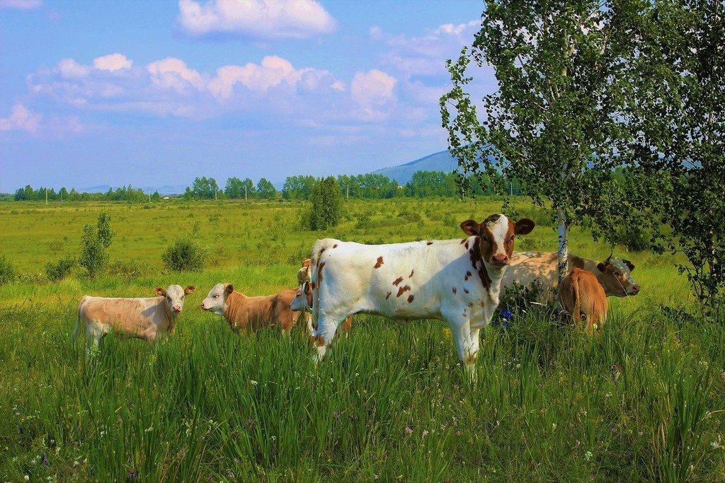 используются фото коровы с теленком на лугу существуют спорадические случаи