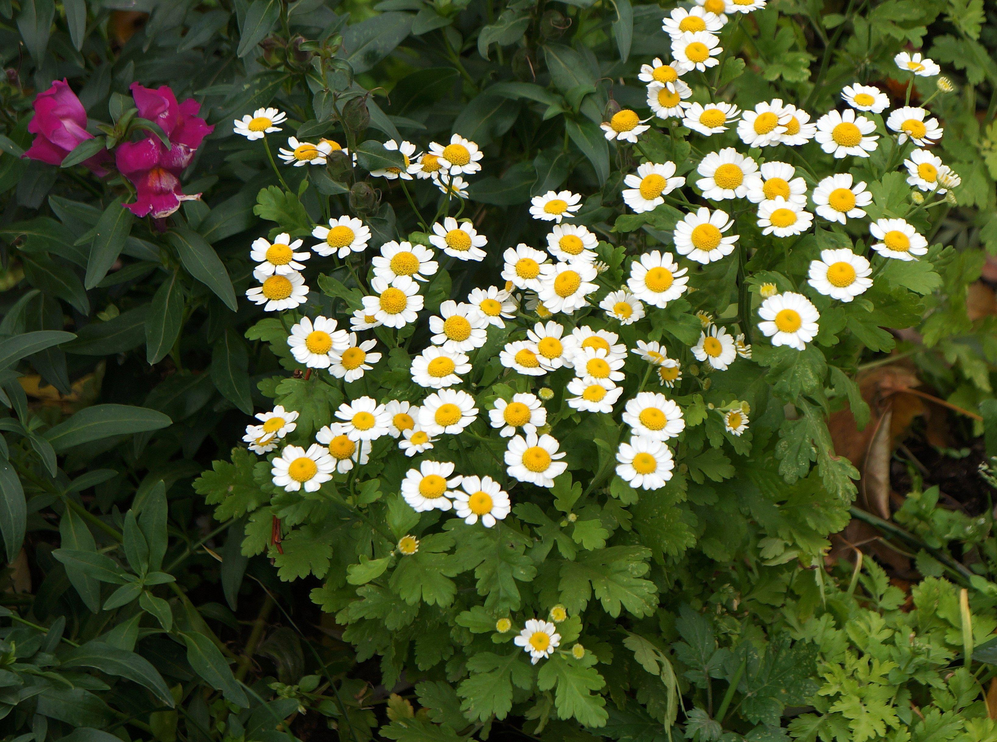 матрикария фото цветы отметил, что