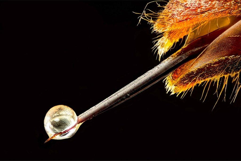 Азиатский шершень Vespa velutina с ядом на кончике жала. Фотография заняла 19-е место. Коммуна Ла-Тур-дю-Криё, Франция. Фото Pierre Anquet (...из интернета)