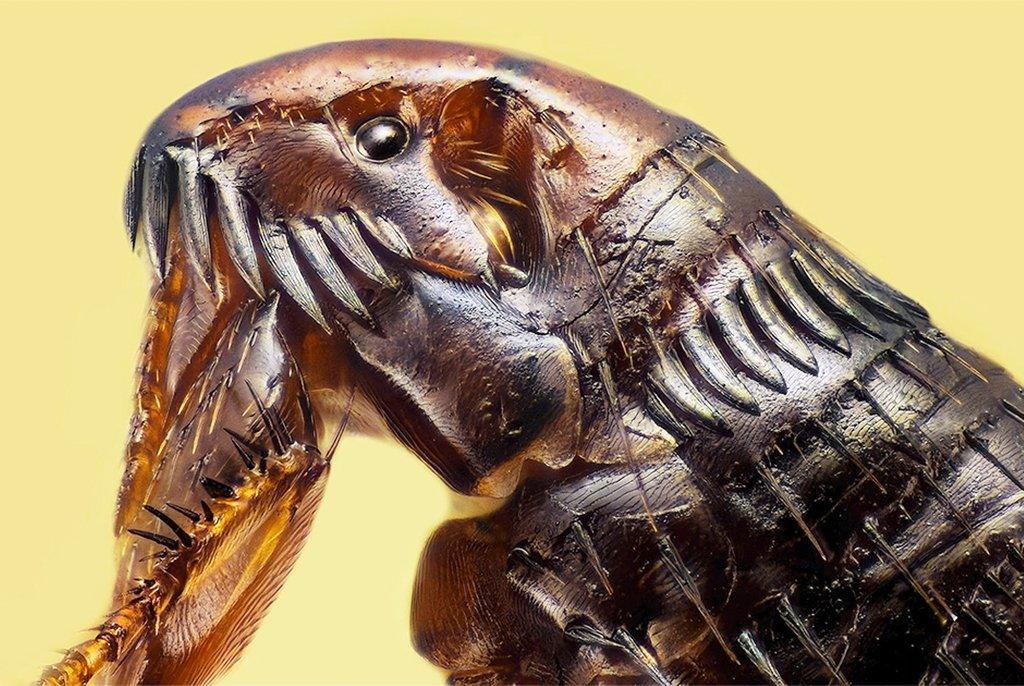 Блоха (Siphonaptera), увеличенная в 20 раз (без учета увеличения окуляра). Рамос Мехия, Аргентина. Фото Luciano Andres Richino(...из интернета)