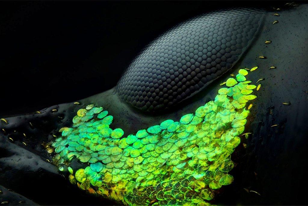 Глаз жука Metapocyrtus subquadrulifer beetle. Фотография заняла первое место. Абу-Даби, ОАЭ. Фото Yousef Al Habshi(...из интернета)