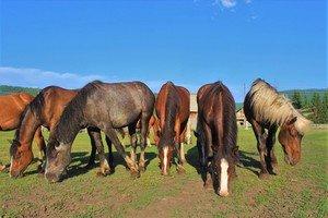 Щиплют кони траву на поляне