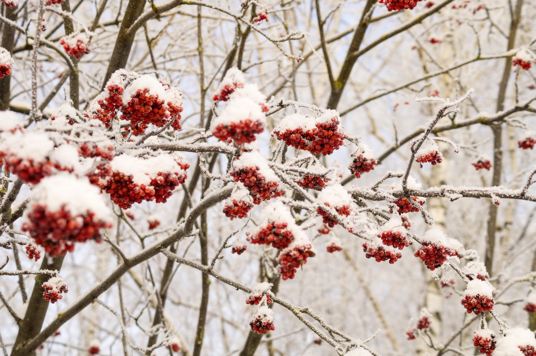 кто картинка рябина в снегу на аву фото