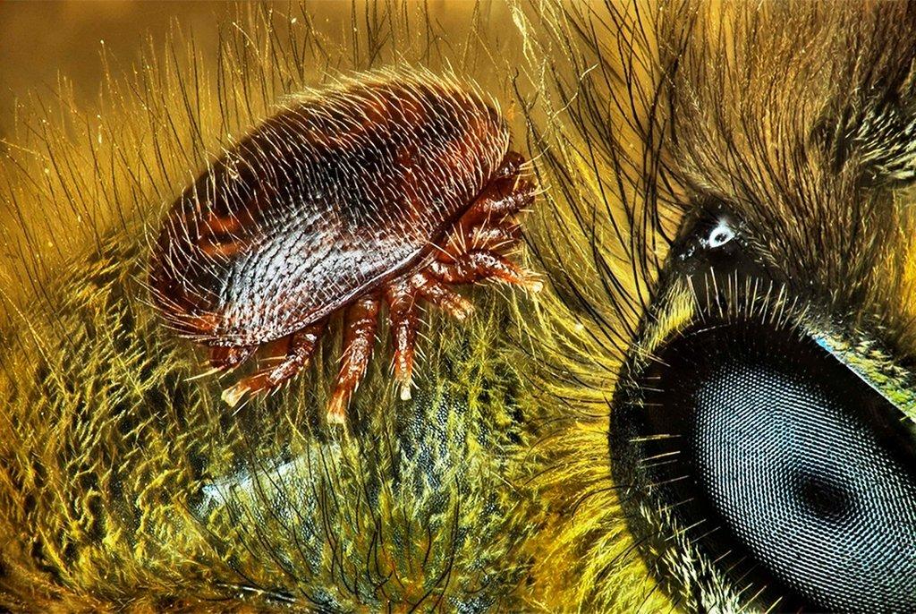 Клещ Varroa destructor на медоносной пчеле Apis mellifera. Остров Реюньон, Франция. Фото Antoine Franck(...из интернета)