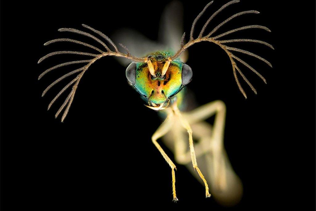 Самец осы с Фиджи, увеличенный в четыре раза (без учета увеличения окуляра микроскопа). Аделаида, Австралия. Фото James Dorey(...из интернета)
