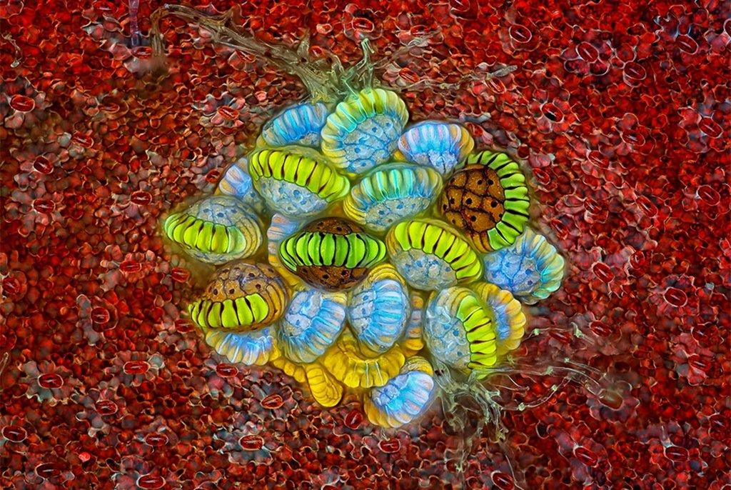 Сорусы папоротника, увеличенные в 10 раз (без учета увеличения окуляра), второе место. Панама. Фото Rogelio Moreno(...из интернета)