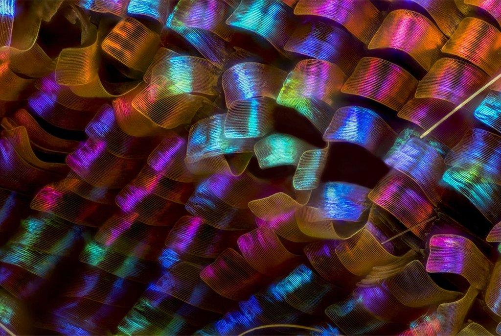 Чешуйки крыла бабочки Urania ripheus, увеличенные в 20 раз (без учета увеличения окуляра). Фотография заняла 12-е место. Рамос Мехия, Аргентина. Фото Luciano Andres Richino(...из интернета)