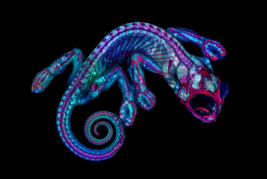 Эмбрион хамелеона, увеличенный в пять раз (за счет объектива микроскопа). Кэмпбелл Холл, штат Нью-Йорк (США). Фото Teresa Zgoda(...из интернета)