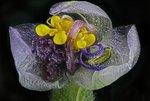 Увядший цветок, увеличенный в четыре раза (без учета увеличения окуляра). Йехуд, Израиль. Фото Samuel Silberman(...из интернета)