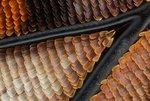 Чешуйки на крыле императорской бабочки (Charaxes sp), увеличенные в 10 раз (без учета увеличения окуляра). Иссакуа, штат Вашингтон (США). Фото Charles Krebs (...из интернета)