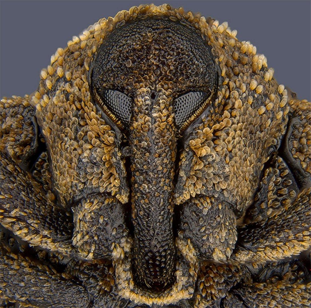 Долгоносик Sternochetus mangiferae, занявший 18-е место. Южный Перт, Австралия. Фото Pia Scanlon(...из интернета)