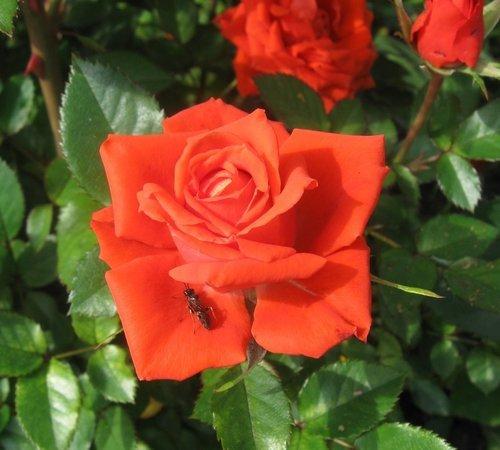 Роза с брошкой