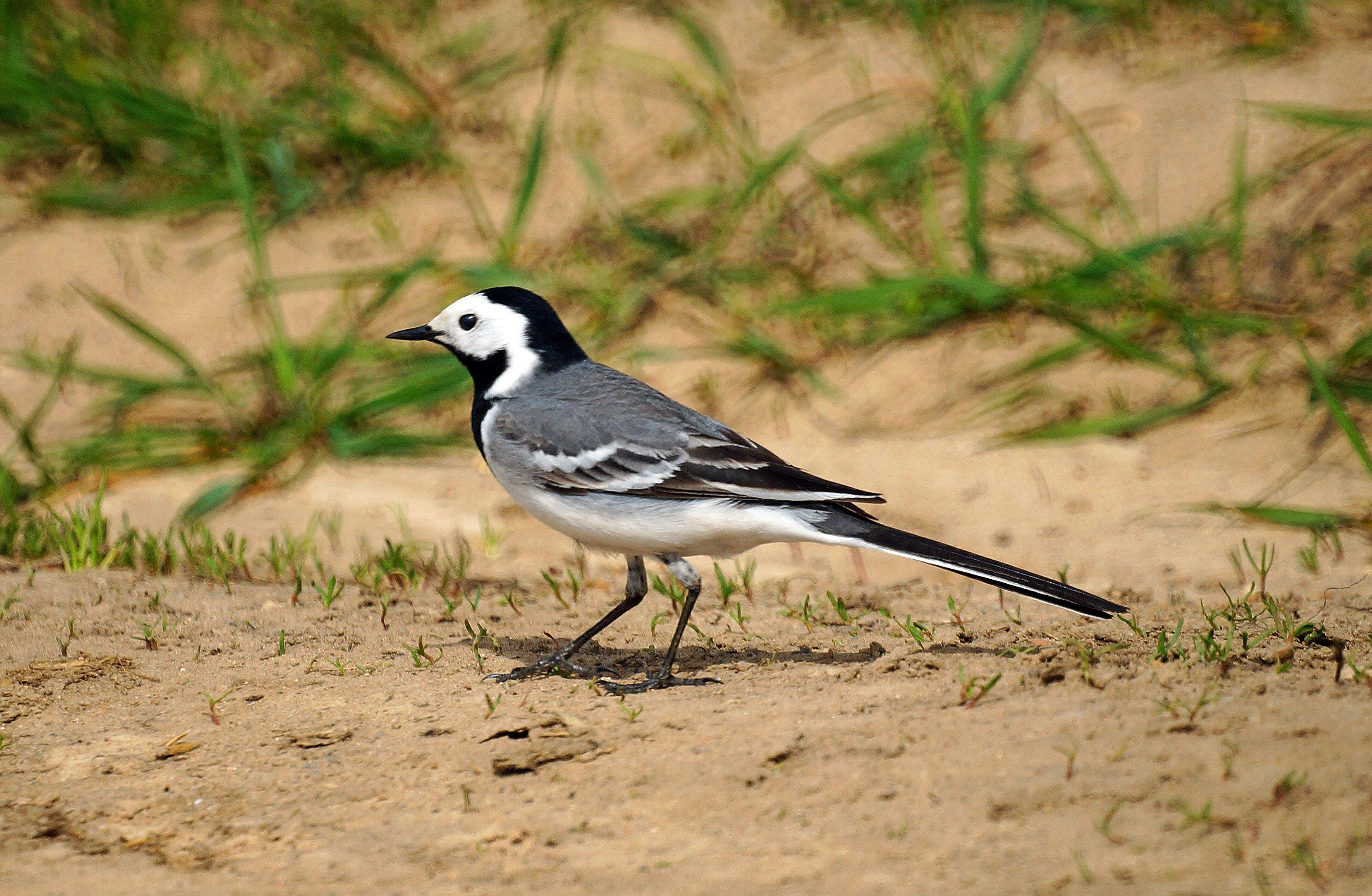 Картинки птица трясогузка фото