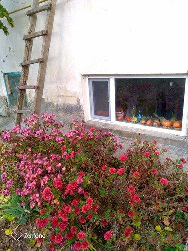 Хризантемы у дома.