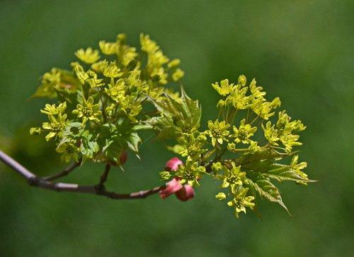Кленовый расцвет