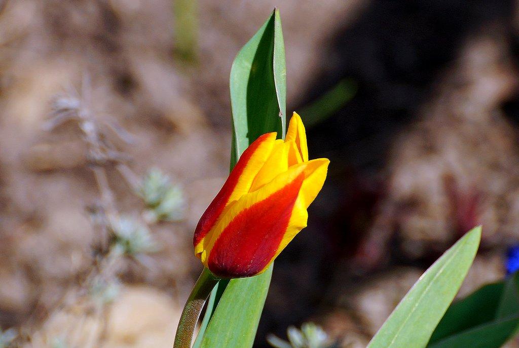 тюльпан апреля