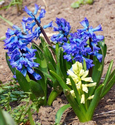 гиацинты весны