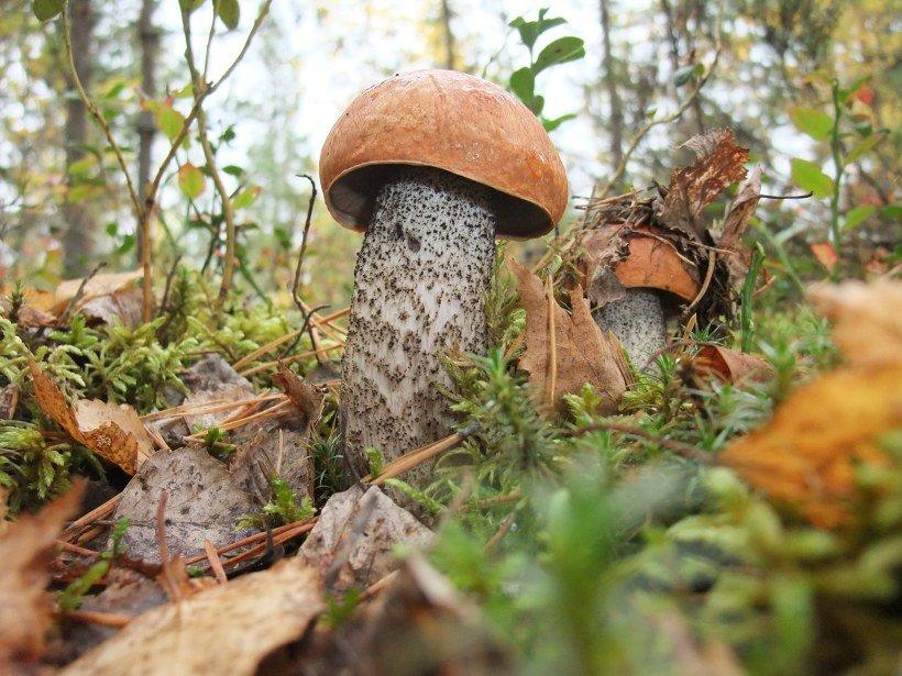 картинка гриб подберезовик под березой работы водителем-охранником